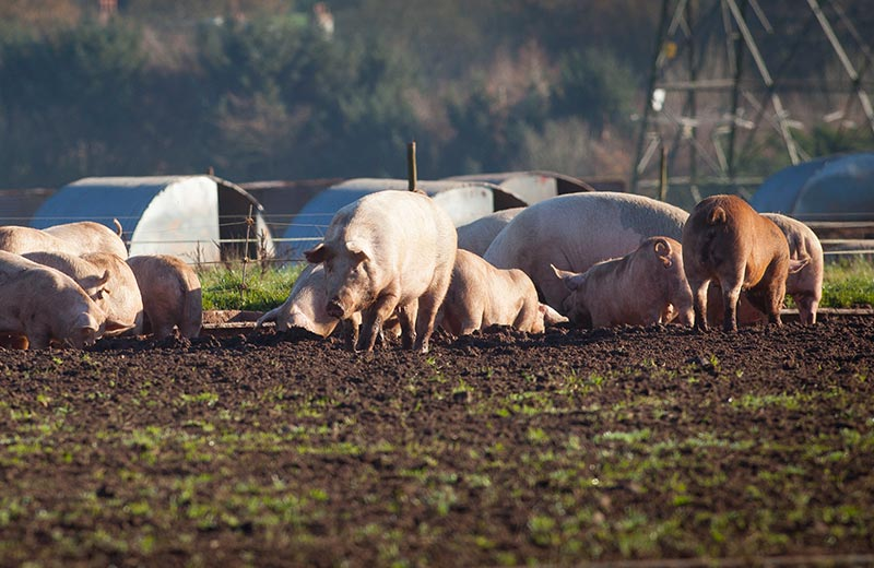 Free Range Prok - The New Meat Project