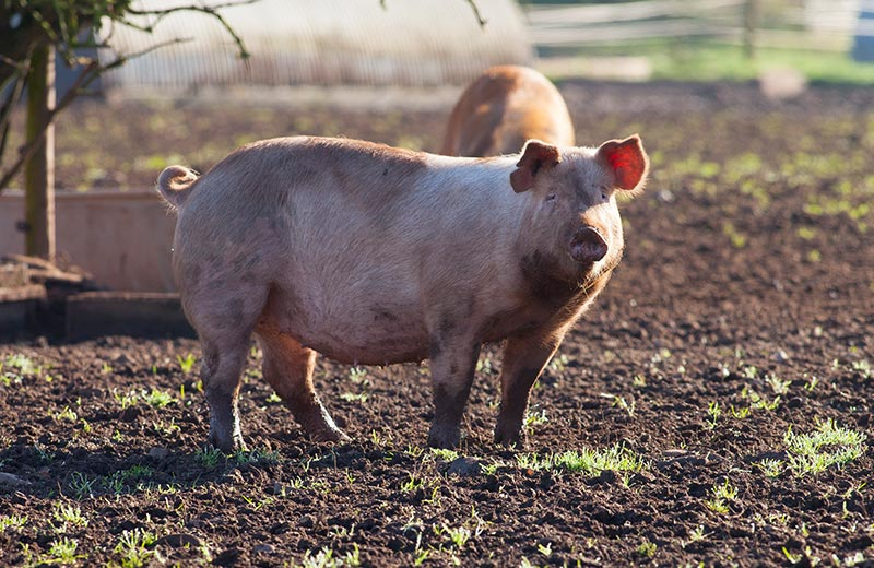 Free range pork 2 - The New Meat Project